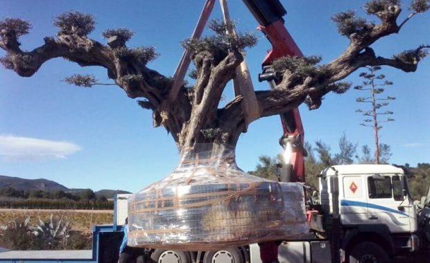 embalaje olivo milenario