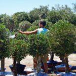 fumigacion olivo plato