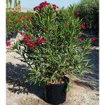 nerium oleander rojo