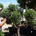 poda olivo bola