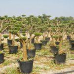 resultado poda olivo plato