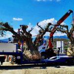 millenary olive tree loading