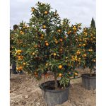 citrus fortunella japonica