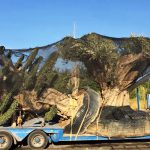 olive tree container loading
