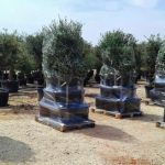 olive trees pallet packaging