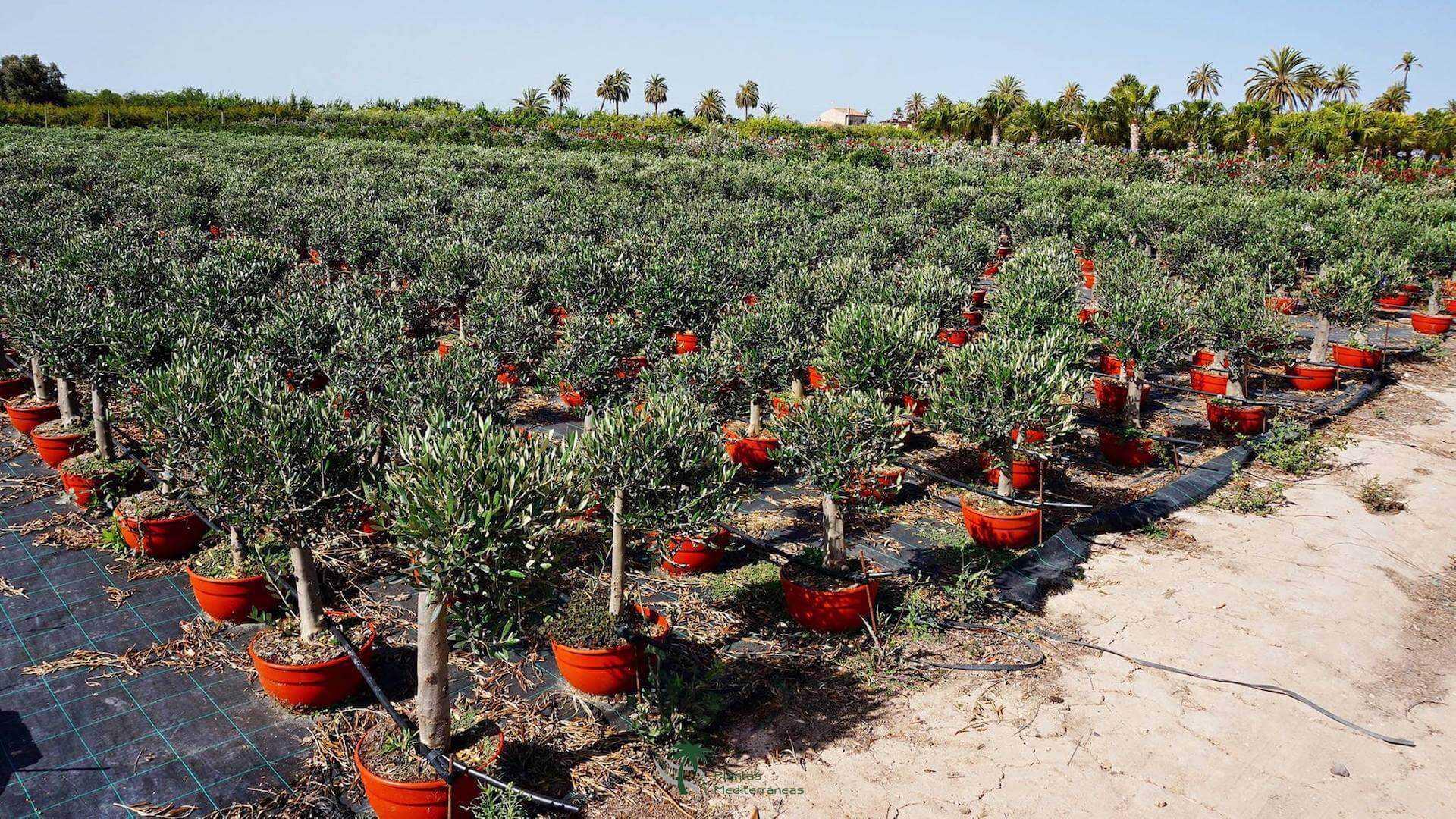oliveras jovenes
