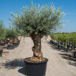 bonsai olive tree