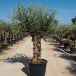 bt olive tree