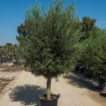olive tree trunk young