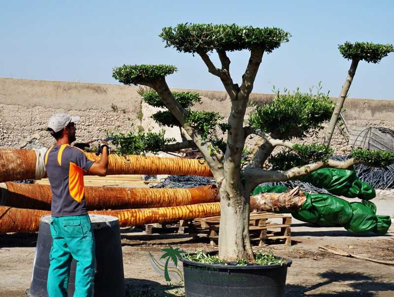 plato olive tree pruning