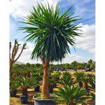 yucca elephantipe