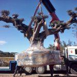 Emballage olivier millénaire