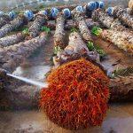 Washingtonia nettoyage des racines