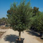 Tronc d'olivier jeune