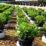 Nerium oleander système d'irrigation