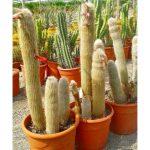 cleistocactus spp