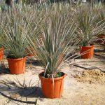 dasylirium serratifolium