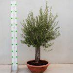 olea europaea bonsai cuenco