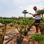 Piatto d'oliva di potatura